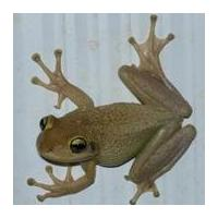 project image for University of Florida Cuban Treefrog Citizen Science Project