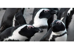 project image for South African Penguins