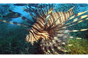 project image for Wanted: Lionfish