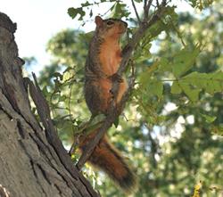 fox squirrel in a tree