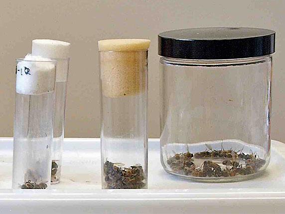 three sample jars filled with infected honey bees