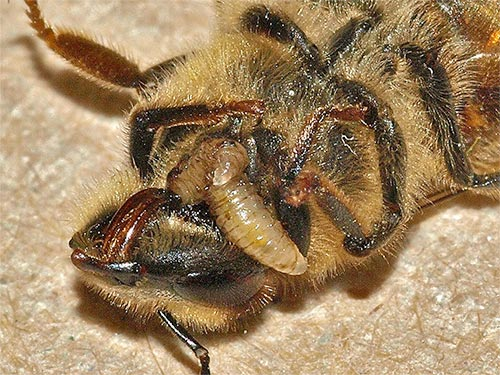 two zombie fly maggots emerging from their host honey bee