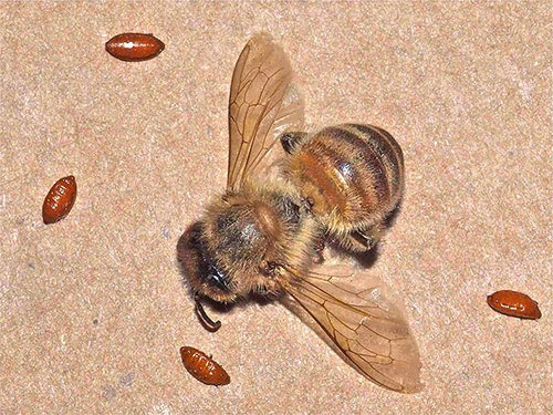dead honey bee with four zombie fly pupae